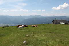 Alpine cows on meadows Royalty Free Stock Photography