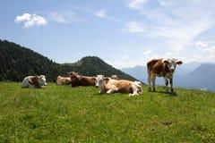 Alpine cows on meadows Stock Photos