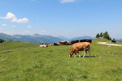 Alpine cows on meadows Stock Photo