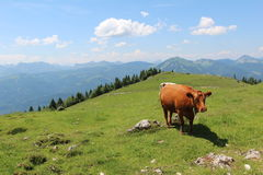 Alpine cows on meadows Royalty Free Stock Image