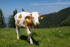 Alpine cows on meadows Royalty Free Stock Photo