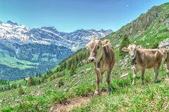 Alpine cows in the pasture in the mountains. Swiss Alps Royalty Free Stock Photo