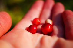 Lingonberries in the hand Royalty Free Stock Image
