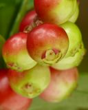 Alpine cranberry. (Vaccinium vitis-idaea) fruits royalty free stock photo