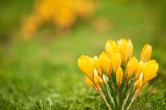 Alpine crocuses blossom in the mountains of the Carpathians on t stock photos