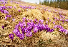 Alpine crocuses blossom in the mountains of the Carpathians on top of the mountain. Fresh beautiful purple crocuses. Stock Images