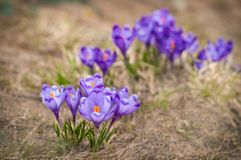Alpine crocuses blossom in the mountains of the Carpathians on top of the mountain. Fresh beautiful purple crocuses. Stock Photos