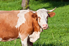Alpine cute cow on summer pasture Stock Photo