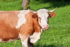 Alpine cute cow on summer pasture Stock Photo