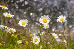 Alpine daisies Stock Image