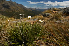 Alpine daisies growing in Fiordland National Park Stock Photography