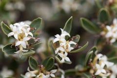Alpine Daphne Daphne alpina. Flowers of an Alpine Daphne bush Daphne alpina Stock Photos