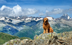 Alpine dog. A dog Alpine in Swiss Alps Stock Images