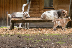 Alpine domestic goats eating prepared dried food in a wooden tro Stock Image