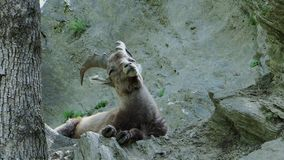 Alpine fauna. Young ibex.