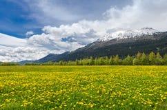 Alpine field of Hawkbits Stock Image
