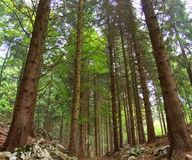 Alpine fir forest. Trentino Alto Adige - Dolomites - Italy royalty free stock image