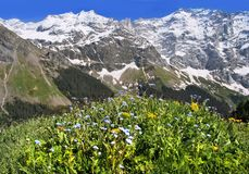 Alpine flora. Swiss Alps with the spring flora Stock Image