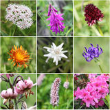 Alpine flora collage Stock Photography