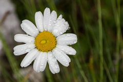 Alpine flora, Slovenia. Camomile in Alpine flora, Julian Alps, Slovenia Royalty Free Stock Image