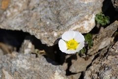 Alpine Flower Among Rocks Stock Images