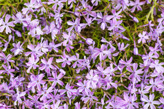 Alpine flower bed with pink phlox moss flowers royalty free stock photo