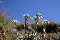 Alpine flower, Leontopodium alpinum Edelweiss with blue sky as background. Copy space. royalty free stock images