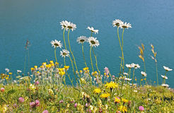 Alpine flower meadow at the lake shore lunersee, austria Stock Photo