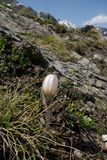 Alpine flower : Pulsatilla vernalis Royalty Free Stock Image