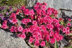 Alpine flower Sempervivum arachnoideum spinneweb, Aosta valley, Italy. Stock Images