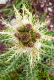 Alpine flower of thorny plant. On the meadow Royalty Free Stock Image