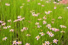 Alpine Flowers. Little pink flowers in the alpine garden stock image