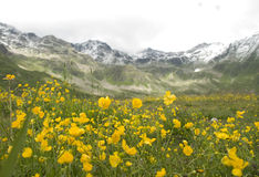 Alpine flowers. Flowers valley in snowy mountains Stock Photos