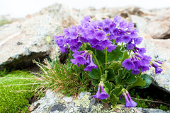 Alpine flowers Stock Photography