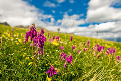 Alpine flowers. Apine flowers. Low dof. Focus is on the purple flowers Royalty Free Stock Photo