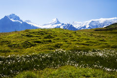 Alpine Flowers and Alps in Switzerland. Fields of while cottony alpine flowers adorn the meadows of First, high atop the town of Grindelwald in the Swiss Alps Stock Photo