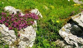 Alpine flowers Royalty Free Stock Photo