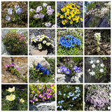 Alpine flowers collage Royalty Free Stock Photography