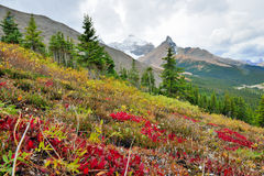 Alpine flowers on the foreground and Canadian Rockies on the background. Icefields Parkway between Banff and Jasper. In the fall Stock Images