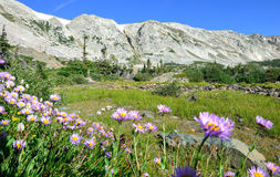 Alpine flowers in front of the Medicine Bow Mountains of Wyoming. During summer stock photography