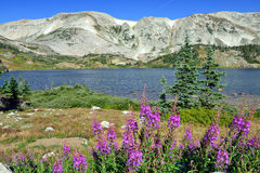 Alpine flowers in front of the Medicine Bow Mountains of Wyoming. During summer stock image