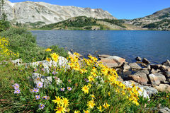 Alpine flowers in front of the Medicine Bow Mountains of Wyoming. During summer stock photo
