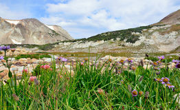 Alpine flowers in front of the Medicine Bow Mountains of Wyoming. During summer Stock Photos