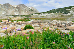 Alpine flowers in front of the Medicine Bow Mountains of Wyoming. During summer stock images