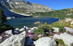 Alpine flowers in front of the Medicine Bow Mountains of Wyoming. During summer royalty free stock photo