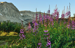 Alpine flowers in front of the Medicine Bow Mountains of Wyoming. During summer royalty free stock images