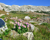 Alpine flowers in front of the Medicine Bow Mountains of Wyoming. During summer royalty free stock photos