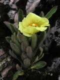 Alpine flowers from GongGa glacier Stock Photos