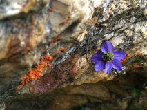 Alpine flowers----GongGa glacier stock photography
