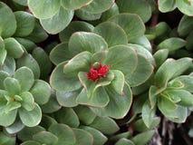 Alpine flowers----GongGa glacier royalty free stock photos
